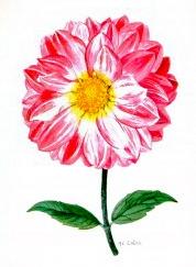 Botanical-Flower-Dahlia-Pink-and-white-180x300