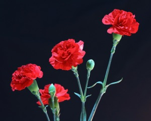 red-carnations-72691_1280