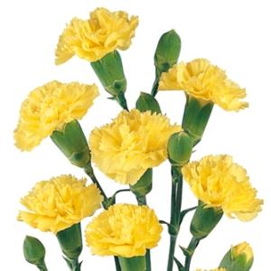yellow_mini_carnation_flower_300